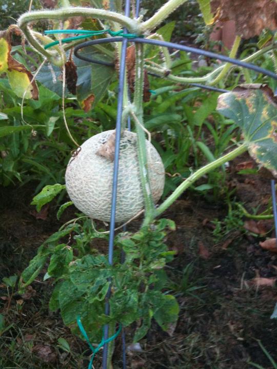 http://morristsai.com/blogpics/Cantaloupe.png